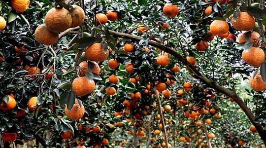 Khám phá sản vật miền Bắc Việt Nam (Kỳ 6): hồng không hạt Xuân Vân, chè Shan Khau Mút, cam sành Hàm Yên