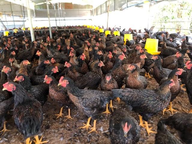 Năm 2020 giá thịt gà và một số thịt gia cầm khác xuống mức rất thấp.Ảnh: T.T.