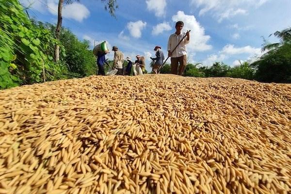 Nhiều doanh nghiệp bán nông sản sang Trung Quốc nhưng chưa hiểu rõ thị trường này. Vận chuyển lúa đi tiêu thụ.