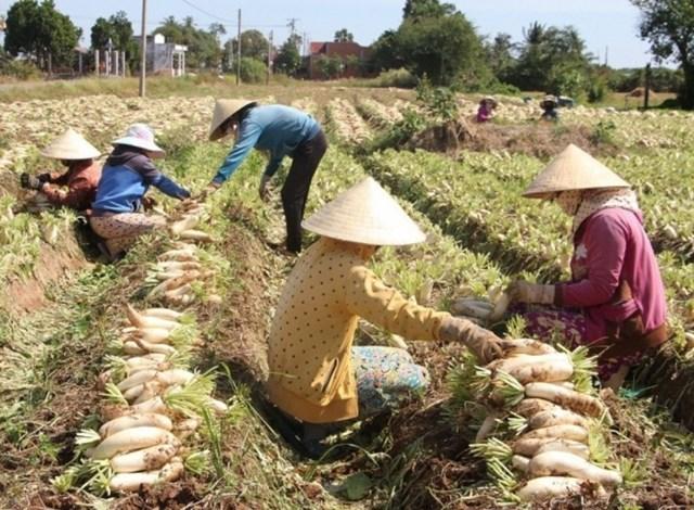 Bà con Khmer xã Vĩnh Hải, thị xã Vĩnh Châu đang bước vào vụ thu hoạch củ cải trắng.
