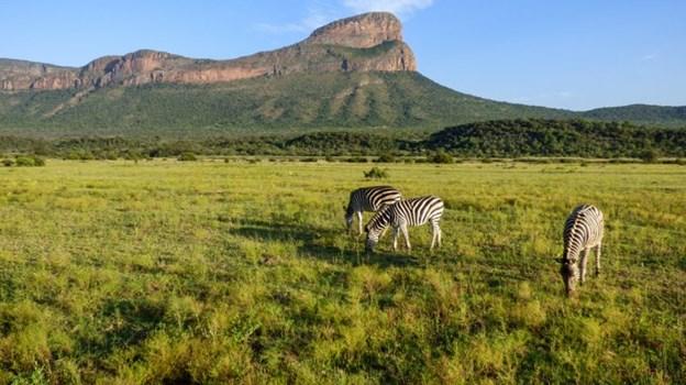 Ngựa vằn gặm cỏ tại Entabeni, Waterberg