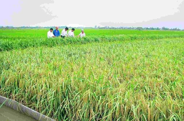 Đồng lúa huyện Hồng Dân, tỉnh Bạc Liêu.