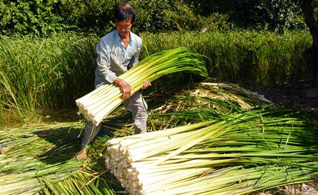 Người dân thu hoạch bồn bồn.