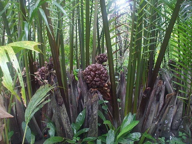 Dừa nước là loại quả riêng có ở miền Tây.