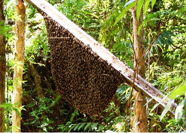 Gác kèo ong mật rừng U Minh.