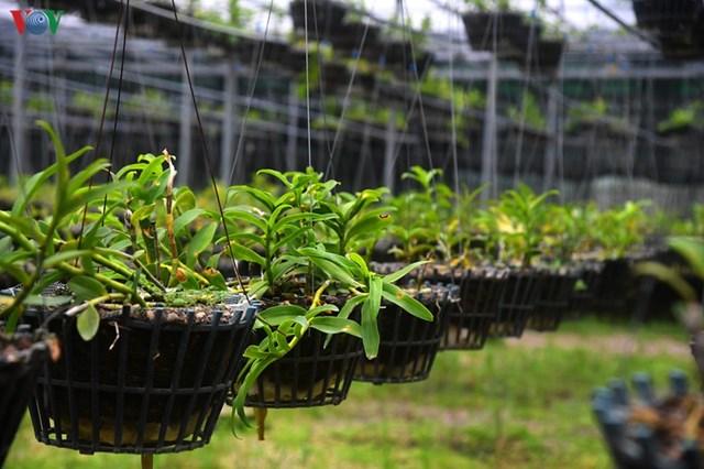 """Phi điệp là loài lan được trồng và nhân giống nhiều tại """"vựa hoa"""" Đông La."""