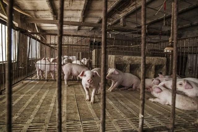 Một trang trại lợn tại Lang Phường (Hà Bắc, Trung Quốc). Ảnh: Bloomberg