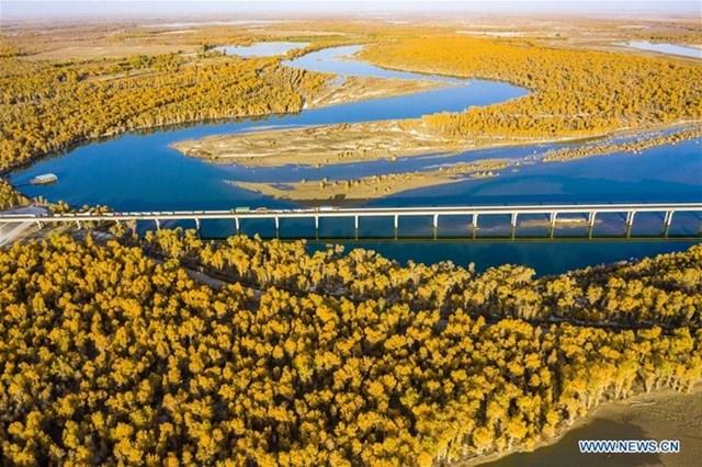 Rừng gỗ dương ở Tân Cương, vùng tự trị phía tây bắc Trung Quốc, đồng loạt chuyển màu lá vàng vào tháng 10/2020.