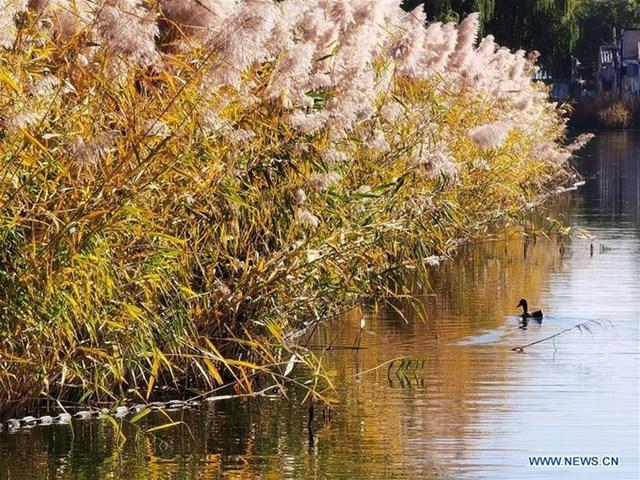Mùa thu cũng là mùa cỏ lau nở trắng bên hồ ở Công viên ngập nước Xihai, Bắc Kinh.