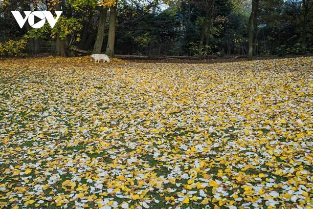 Tại Bỉ, ngoài lá phong, lá cây bồ đề (linden) khi rụng xuống cũng dệt nên một bức thảm màu vàng tươi tuyệt đẹp.