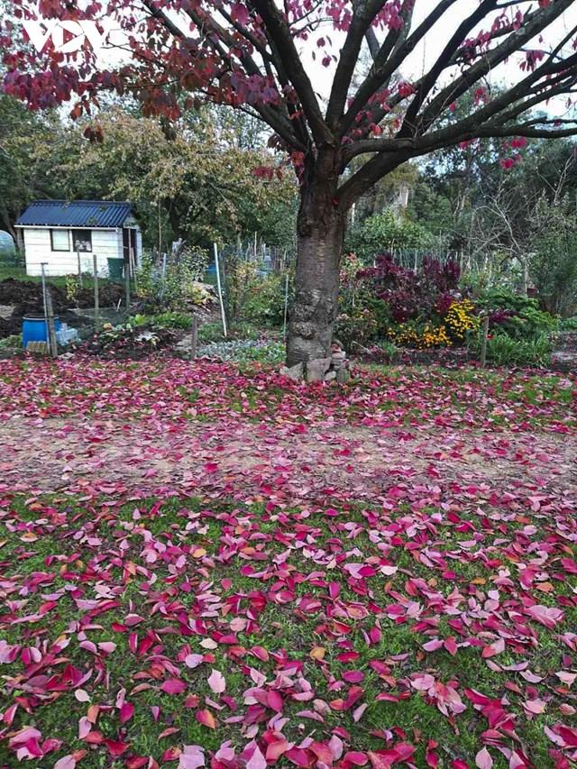 Những con đường rải đầy lá đỏ của cây anh đào.