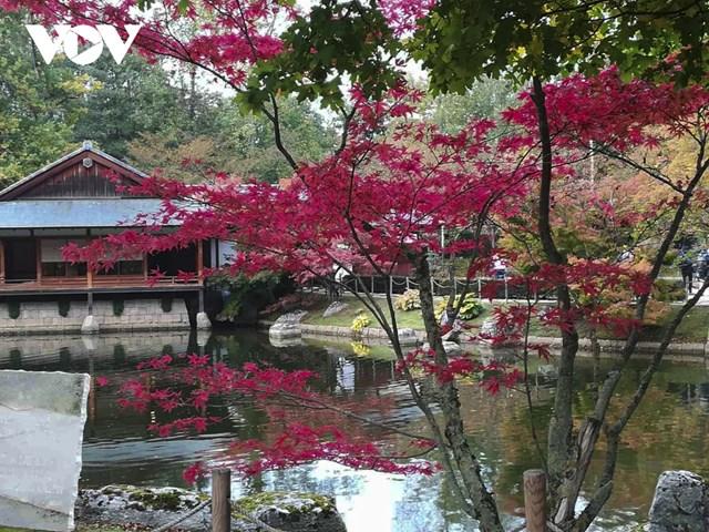 Phong lá đỏ trong khuôn viên vườn Nhật Bản tại thành phố Hasselt vào mùa thu.