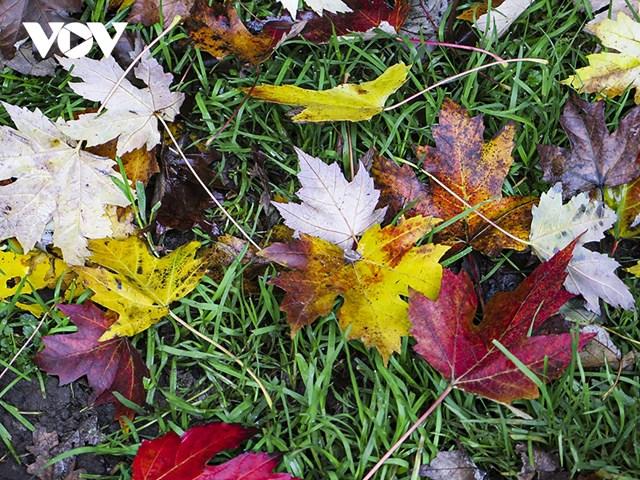 Những sắc màu của lá phong, biểu tượng của mùa thu.