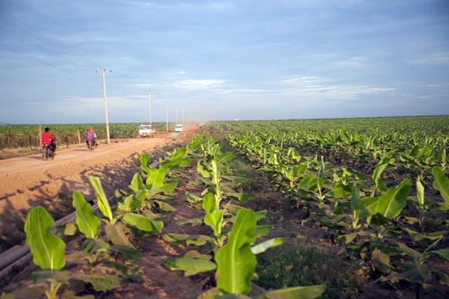 Vùng trồng rộng lớn chính là thứ hấp dẫn nhất của HAGL Agrico với THACO.