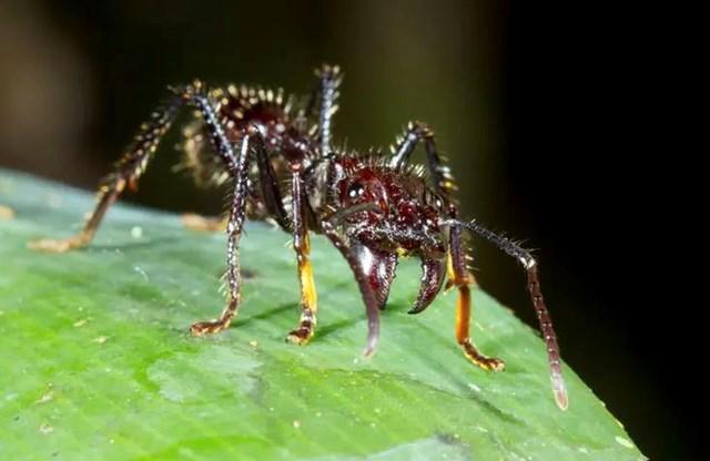 Kiến đạn (Paraponera clavata)