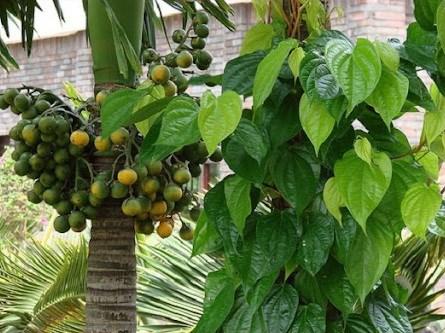 Trầu cau là sản vật đặc biệt của người Việt Nam